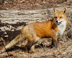 red fox in Rutgers EcoPreserve © Orion Weldon