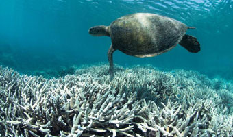 Photo:  turtle floating above a coral reef