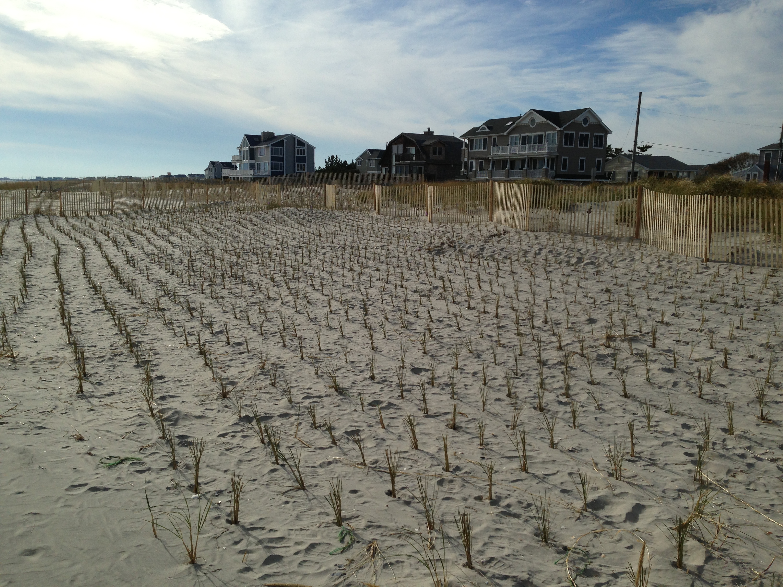 A later-removed dunegrass planting on newly created habitat &copy Brooke Maslo