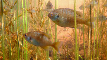 Lepomis macrochirus. Photo courtesy of Gretchen Hansen