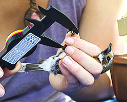 Nicole Guido using a caliper to take measurements on a bird