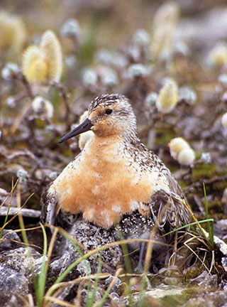 Red knot breeding