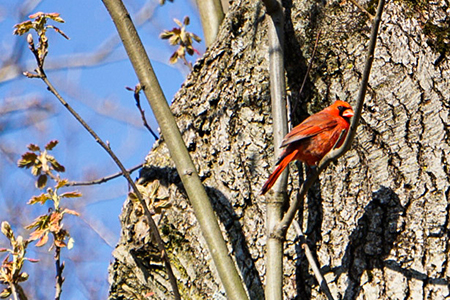 Photo: Cardinal. Image courtesy of Deborah Zitomer